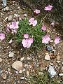 Dianthus scardicus 001.JPG