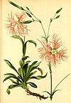 Dianthus superbus Atlas Alpenflora.jpg