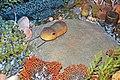 Diorama of a Devonian seafloor - Bumastus trilobite, brachiopods, corals, fenestrate bryozoans, algae (30717354277).jpg