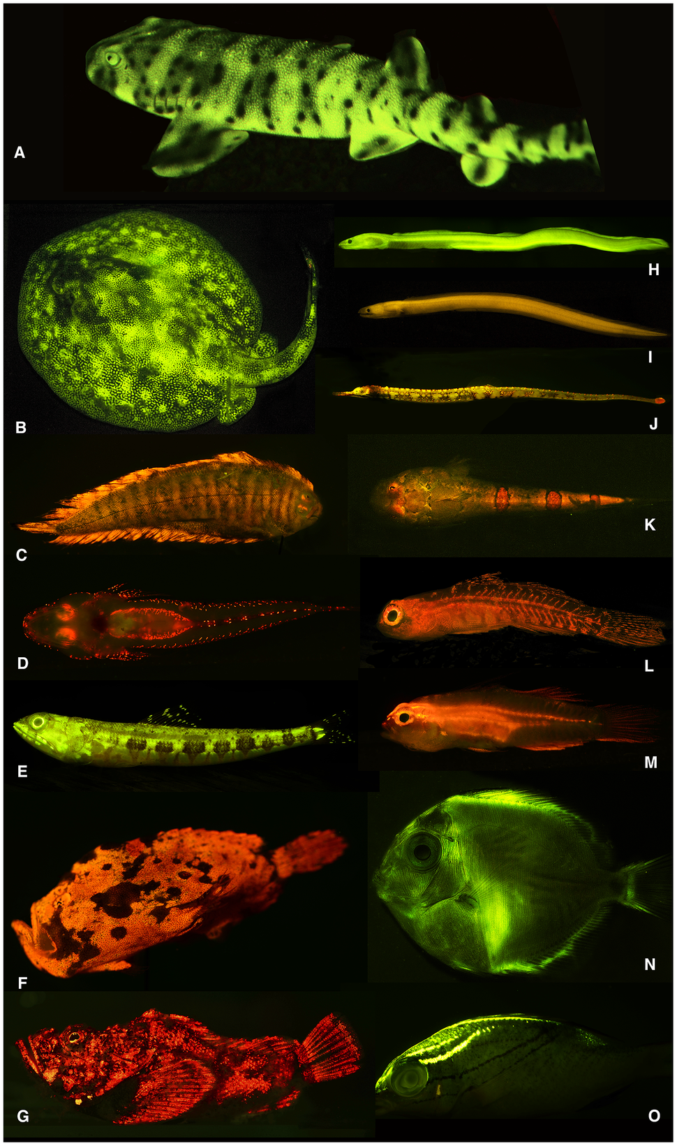 Diversity of fluorescent patterns and colors in marine fishes - journal.pone.0083259.g001