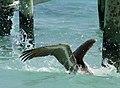 Diving Pelican 2 (4379912135).jpg