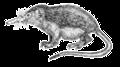 Dixi-Solenodon cubanus-transparent.png