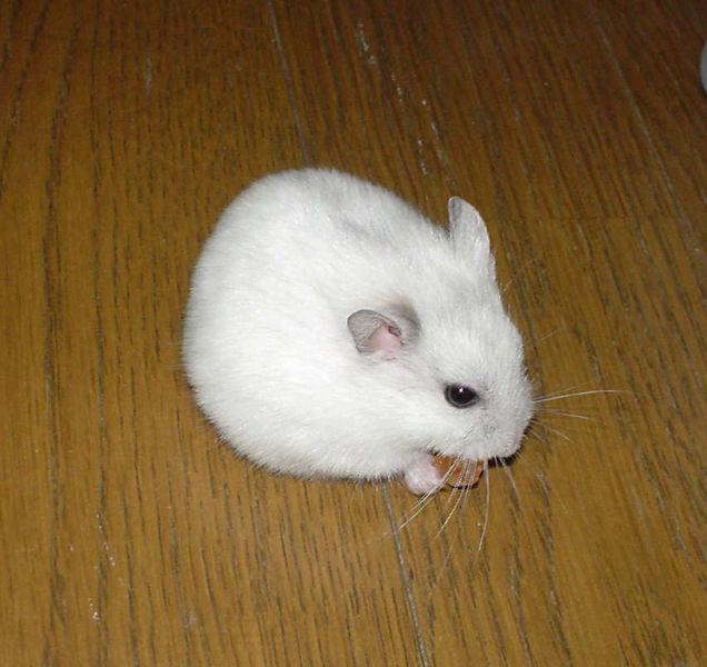 Soubor:Djungarian Hamster Pearl White.jpg