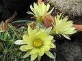 Dolichothele longimamma (Mammillaria) (4877093312).jpg
