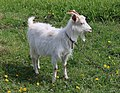 Domestic goat 2017 G4.jpg