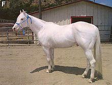 Albino (cavallo)