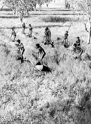 Donald Thomson - The Goose Hunters of the Arafura Swamp (1937), photo by Donald Thomson, showing aborigines in Arafura Swamp.