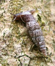 Cochlodina laminata from the family Clausiliidae or door snails, a small land pulmonate which has a sinistral or left-handed shell, on the trunk of a tree, in woodland, England