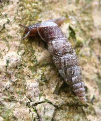 Door snail