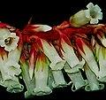 Dracophyllum secundum fragment2.jpg