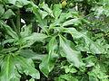 Dracunculus vulgaris-IMG 1553.jpg