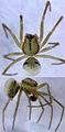 Drapetisca australis male.jpg