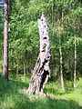 Drawienski Park Narodowy - sprochniale drzewo.jpg