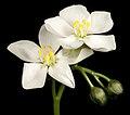 Drosera stolonifera - Flickr - Kevin Thiele (1).jpg