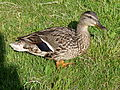 Duck from right side.JPG