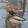 Duckies (4220278606) (2).jpg