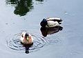 Ducks1-1.jpg