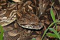 Dumeril's Madagascar ground boa (Acrantophis dumerili) male head Isalo.jpg