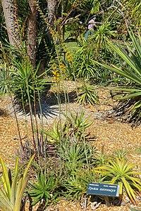 Dyckia microcalyx - Marie Selby Botanical Gardens - Sarasota, Florida - DSC01307.jpg