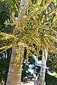 Dypsis lutescens - Areca Bambu - 02.jpg