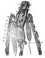 EB1911 - Acanthocephala 2.png