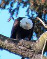 EaglePapaFeed4.jpg