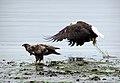 Eagles on the Auke beach (4250382280).jpg