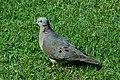 Eared Dove 2015-06-02 (16) (25437572677).jpg