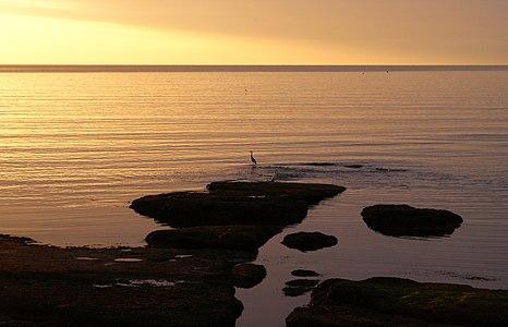Grey heron fishing in the sea in the early dawn light, UK