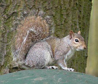 Sciurus - Eastern gray squirrel (Sciurus carolinensis)
