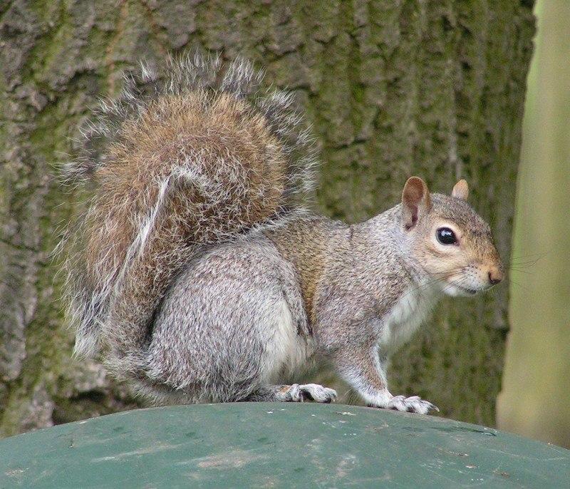 Eastern Gray Squirrel 800