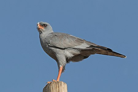 Eastern chanting goshawk in Ethiopia