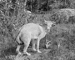 Eastern wolf Sault Stephen Marie MI (1900).JPG
