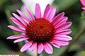 Echinacea purpurea Vintage Wine 1zz.jpg