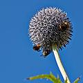 Echinops bannaticus-IMG 8507.jpg