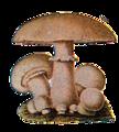 Edible Fungi 01.png