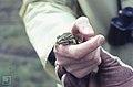 Edible frog Neusiedler See (38257766116).jpg