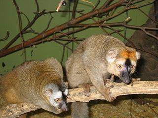 Red lemur Species of lemur