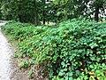 Een lintvormig braamstruweel uit de brummel-klasse (Lonicero-Rubetea plicati).jpg