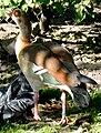 Egyptian goose Obroshyn.jpg