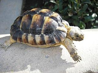 Kleinmanns tortoise species of reptile