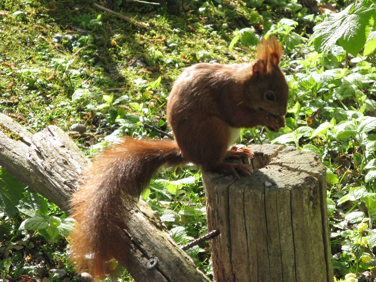 eichhörnchen auf englisch