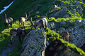 Eine Herde Steinböcke.jpg