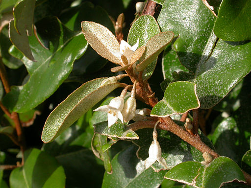 fleurs d'elaeagnus ombellata