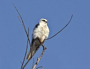 White-tailed kite - White-tailed kite roosting.