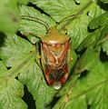 Elasmostethus interstinctus (Birch shieldbug) - Flickr - S. Rae.jpg