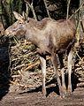 Elch Alces alces Tierpark Hellabrunn-18.jpg