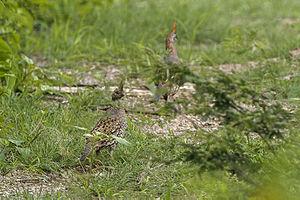 Elegant quail - Image: Elegant Quail Sinaloa Mexico S4E0508 (15524366506)