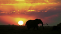 Elephant during sunset.png