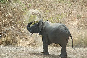 Elephant dust bath park w niger